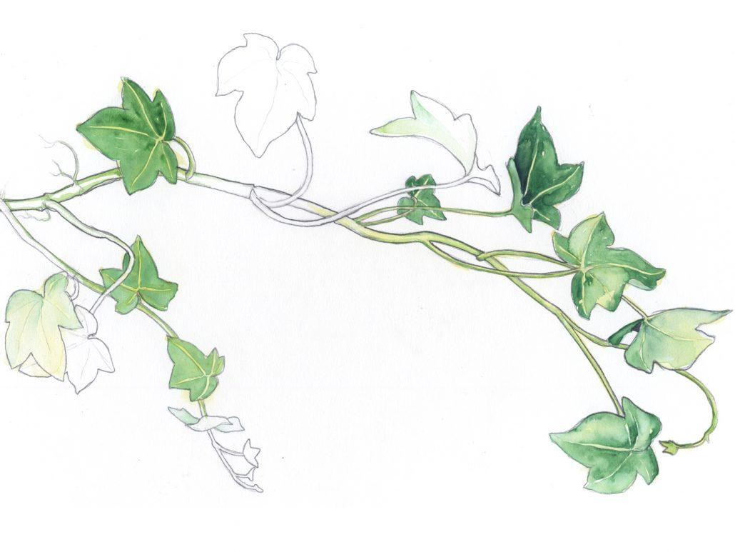 hg-weed-englishivy
